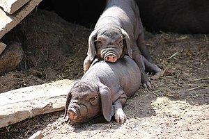 zufriedene Schweine Foto Haustierpark